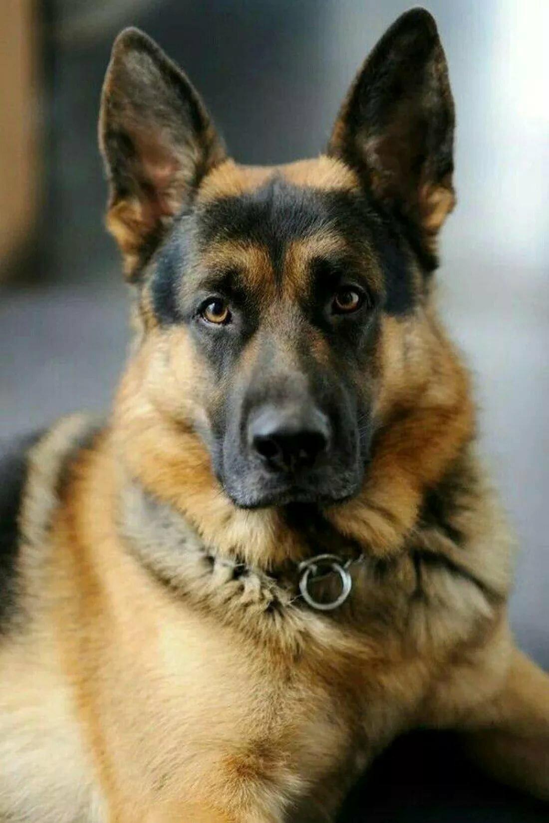 Почему собака кашляет и что делать.
